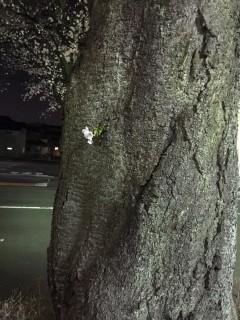 ど根性桜 その1